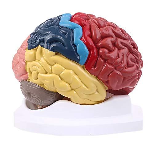 JJIIEE Modelo do cérebro humano, cérebro dividido codificado por cor, 2 peças de anatomia do cérebro humano, modelo anatomicamente preciso para estudo de sala de aula de ciência