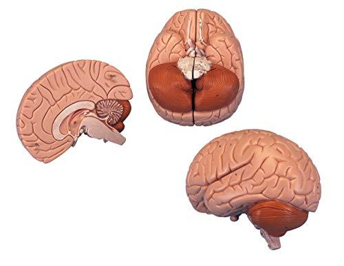 3B Scientific C15 Encéfalo Introductorio, desmontable En 2 Piezas - 3B Smart Anatomy