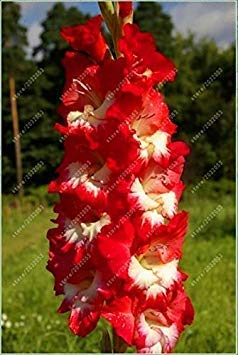 VISTARIC 2ST Gladiolen Zwiebeln, Gladiole Blume (Nicht Gladiolen Samen) Schöne Blumenzwiebeln Symbolisiert Nostalgie, Hausgarten Pflanze Bonsai 8