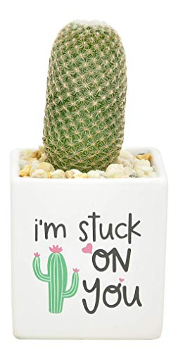 Costa Farms Mini Cactus Fully Rooted Live Indoor Plant, 2.5-Inch, Stuck On You Planter