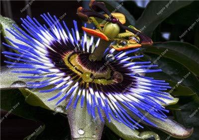Ferry 100 Stück Mixed Passionsblume, Süß (Passiflora incarnata) Maracuja Bonsai-Tropische Blumen Zimmerpflanzen für Hausgarten-Dekor: 7