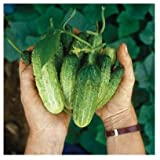 David's Garden Seeds Cucumber Pickling Northern SL7722 (Green) 50 Non-GMO, Open Pollinated Seeds