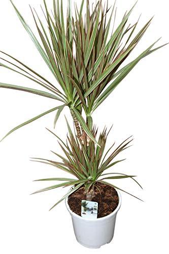 Plante d'intérieur - Plante pour la maison ou le bureau - Dracaena marginata - Dragonnier de Madagascar bicolore, hauteur 1,1 m