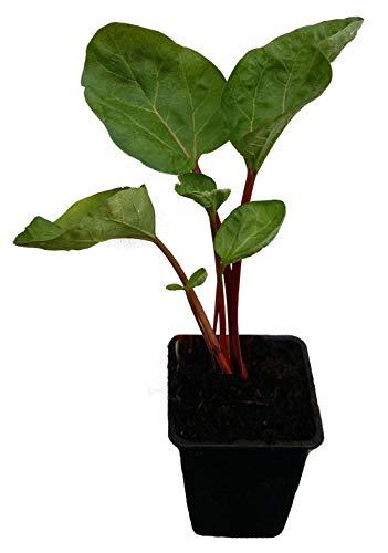 Speise-Rhabarber Pflanze - Canada Red - rotstielig mit mildem Geschmack Neuheit