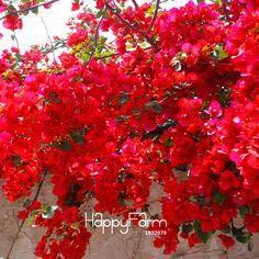 Green Seeds Co. 50 unids Hermosas plantas de buganvillas Raras Semente árbol de la flor plantas plantas de jardín de Tohum perennes regalo: verde