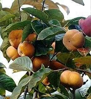 Fuyu Giant Japanese Persimmon Tree GRAFTED Ships in Pot from MARTHAS Secrets Cannot Ship to CA, AZ, AK, HI, OR or WA PER Your State Laws