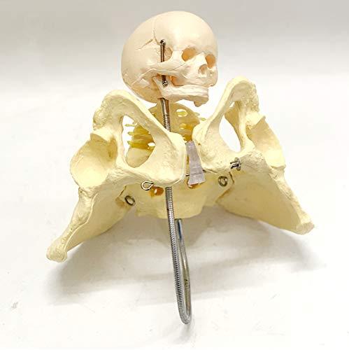 Modell Weibliches Becken Mit Baby-Kopf, Menschliches Anatomische Modelle - Für Medizinische Schulen Im Unterricht Midwifery Kurse.