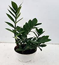 CAPPL Spectacular Zamia Green Color Plant (Pot Included) with Fertilizer & Plate Free