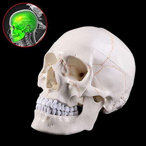 Model van de schedel Menselijke Anatomie Anatomische Sized Real Skeleton Head Teaching Medical Supplies Teaching PVC 21X15x19cm / 8.27X5.91X7.48In
