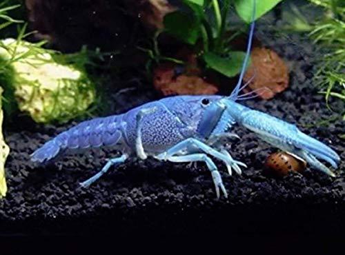 Polar Bear's Pet Shop New! Electric Blue Crayfish crawdad Crawfish Lobster