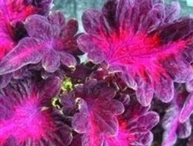 Il vous suffit de graines de fleurs???Coleus???Dragon noir???25?graines???Patio Pots