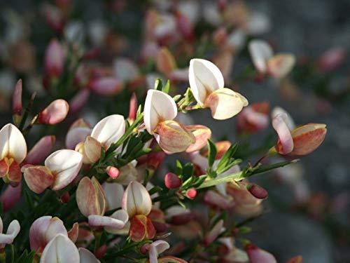 Cytisus praecox Zeelandia - Ginster...