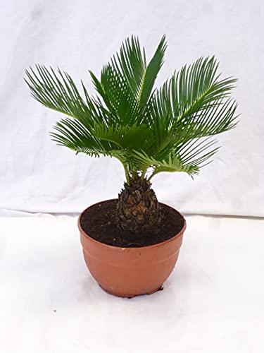 [Palmenlager] - Cycas revoluta 40/50 cm - Stamm 10 cm - Sagopalme - Palmfarn
