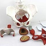 人間の解剖学的モデルボディスケルトン医療解剖学的骨盤底筋モデル-女性の骨盤モデル-等身大人間の骨盤解剖学的モデル-婦人科研究トレーニングディスプレイ医療M