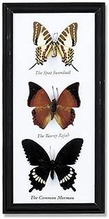 3 Butterfly Specimens Framed
