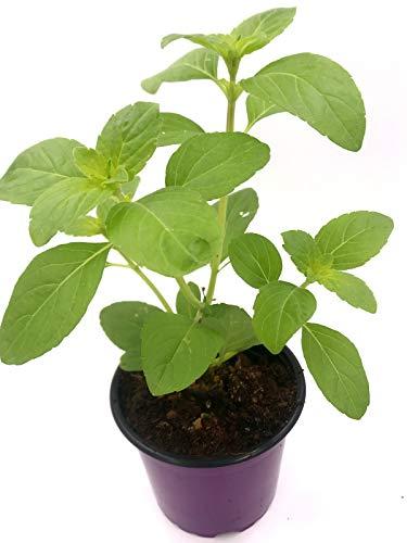Strauchbasilikum Magic white Ocimum x hybrida Kräuterpflanze 1stk.