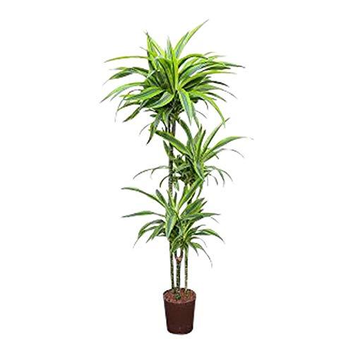 Drachenbaum Lemon Lime, 120 cm, Kunstpflanze, Dekopflanze, Grünpflanze, Palme