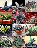 Gasteria de color Mix @@ Living Stones raras exótica del cactus suculentas de semillas 100 semillas