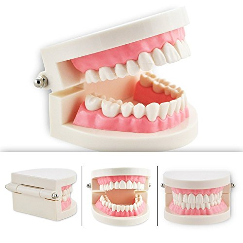 Standard Tooth Teeth Model, Kids Dental Teaching Study Supplies, Adult Standard Typodont Demonstration Teeth Model