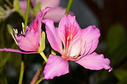 Bauhinia Variegata - Arbre rose orchidée - Graines rares plantes tropicales arbustives (8)