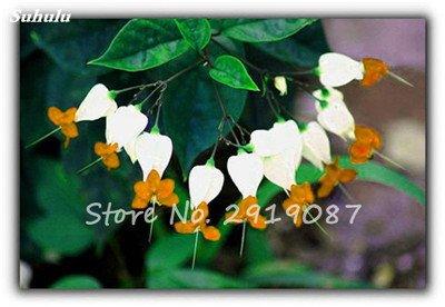 200 pièces de Bell Orchid Seeds Rare Muguet Fleurs d'intérieur Fleurs riches Aroma Bonsai graines de plantes vivaces Fleurs Jardin 20
