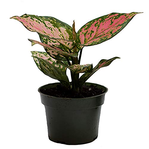 """American Plant Exchange Aglaonema Chinese Evergreen Hot Pink Valentine Wishes Live Plant, 4"""" Pot, Indoor/Outdoor Air Purifier"""