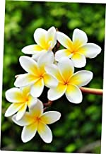 plumeria for sale florida