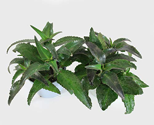 Isenzo Lebende Topfpflanze Kalanchoe Goethepflanze Pflanze im Topf Brutblatt Zimmerpflanze gesund, groß Sämlinge 4-5St im 13cm-Topf Su