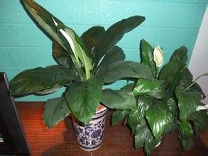 Grosses soldes! Grandes fleurs de haute qualité à l'intérieur vert plantes en pot géant les 10seeds de semences d'absorption d'air purification de formaldéhyde