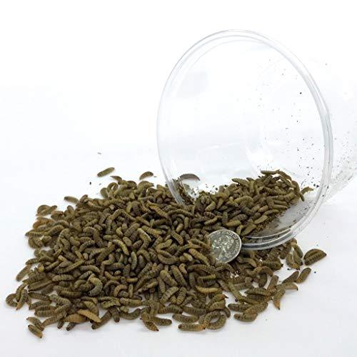 Symton Medium Feeding Grade Black Soldier Fly Larvae