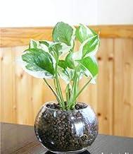 送料無料 ポトスエンジョイ ハイドロカルチャー 観葉植物 ポトス インテリア 北欧 おしゃれ ギフト お祝い モダンラウンドグラス