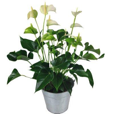 Weiße Anthurie inkl. Übertopf - Flamingoblume - Büropflanze - Zimmerpflanze