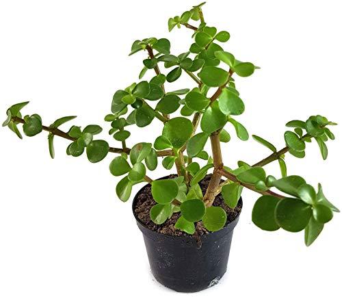 Fangblatt - Portulacaria afra - der Jadebaum aus Südafrika - bezaubernde Sukkulente - pflegeleichte Zimmerpflanze - idealer Bonsai für Ihr Zuhause
