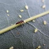 60 x Marienkäfer Larven - Nützling gegen Blattläuse - Biologischer Pflanzenschutz