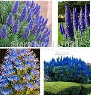 100 Pride of Madeira Seeds - Echium fastuosum ~impressive bonsai plant free shipping
