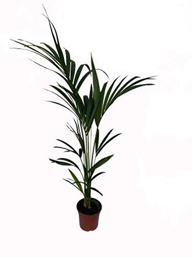Kentia - Palmera de interior - Maceta 19cm. - Altura total aprox.1,10m....