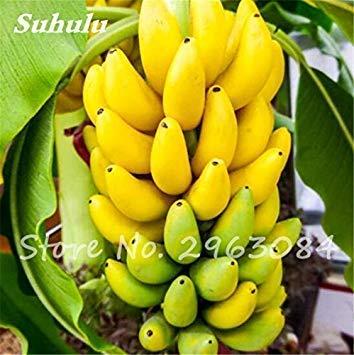 Fash Lady 100 Pcs/sac Graines De Banane En Pot Bonsaï Bio Fruits Graines Des Aliments Sains Et Nutritifs Fruits Plant De Bananier Nain Pour La Maison Jardin