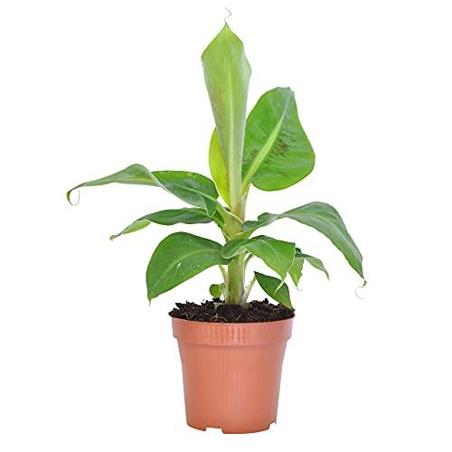 Musa Oriental Dwarf | Bananier | Plante dintérieur tropicale | Hauteur 30-45cm | Pot Ø 12cm