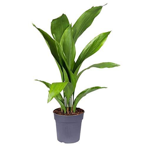 Pflanzen Kölle Metzgerpalme, Schusterpalme 'Aspidistra Elatior', Topf 21 cm, Höhe ca. 85 cm