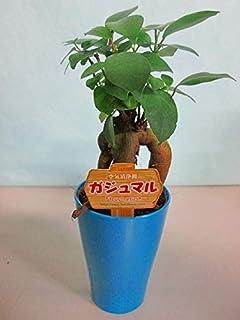 ガジュマル 2.5号ポット ミニ ブルー 観葉植物 鉢植え 苗 お中元 お歳暮 母の日 プレゼント ギフト 敬老 インテリア プランツ 贈り物 誕生日 精霊が宿る樹