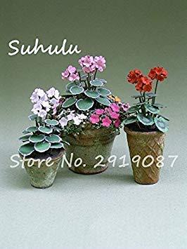 Vistaric 100pcs Rare Mini Geranium Graines Vivaces Belles Fleurs Graines Pelargonium Peltatum Graines disponibles bonsaï en pot mélange couleurs 6