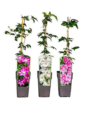 3er Sortiment Clematis MIX Weiß-Pink-Violett Kletterpflanzen Kakio Pink Champagne First Love Doctor...
