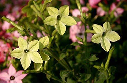 Charm4you Jardín Planta en Maceta perenne,Semillas de Flores de Paisaje Resistentes al Calor Resistentes a la Rotura-Green_100g,Ornamentales Semillas