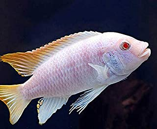 Best red zebra cichlid for sale Reviews