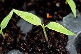 ScoutSeed Compre 3 Get 2 Gratis Chocolate Naga Jolokia Chilli Seeds 100pcs Ghost Pepper Bonsai