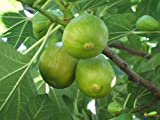 "Pianta di Fichi Fico""Ficus Carica"" in vaso ø14 cm"