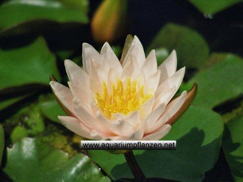 1 Zwergseerose der Sorte Walter Pagels, weisse Blüte, Teichpflanzen, Wasserpflanzen