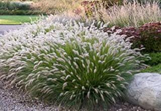 3 Hamlen Grass in 4 Inch Containers/Dwarf Fountain Grass (3 Pots of Plants) Ships from Rock Island, Tennessee. Grown here on our own Farm.