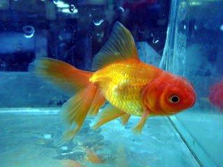 金魚 オランダシシガシラ【こだわりの生体をお届けします 名生園】