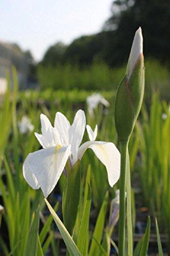Wasserpflanzen Wolff - Iris sibirica - Sibirische Wieseniris, weiß